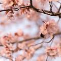 緑ヶ丘公園の桜 20200512_4