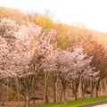 緑ヶ丘公園の桜 20200512_5