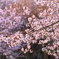 緑ヶ丘公園の桜 20200512_7