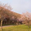 緑ヶ丘公園の桜 20200512_8