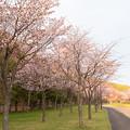 緑ヶ丘公園の桜 20200512_9