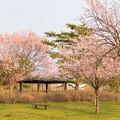 緑ヶ丘公園の桜 20200512_10