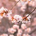 緑ヶ丘公園の桜 20200512_11