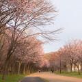 緑ヶ丘公園の桜 20200512_12