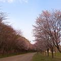 緑ヶ丘公園の桜 20200512_13