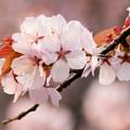 緑ヶ丘公園の桜 20200512_6