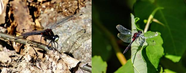 コンサドーレ蜻蛉