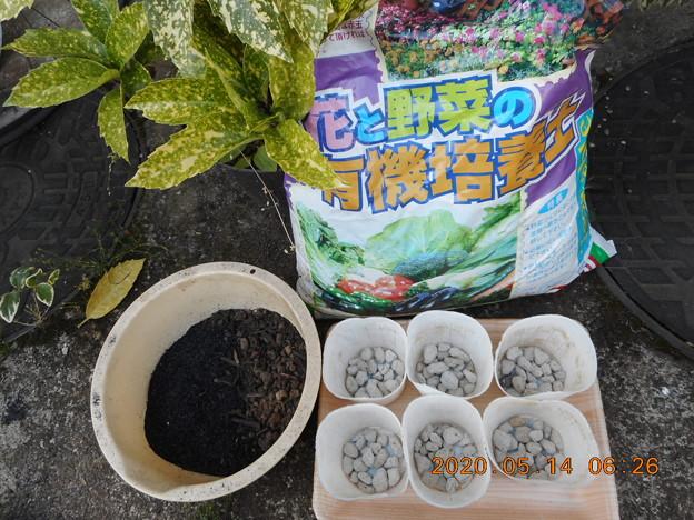 2020-5-14 蝶豆種蒔き 用土