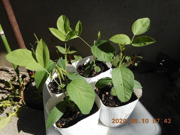 2020-6-10 蝶豆