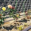 Photos: 0529バラが咲いた