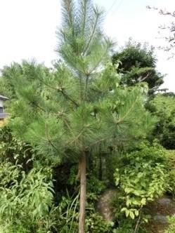 1307松の木