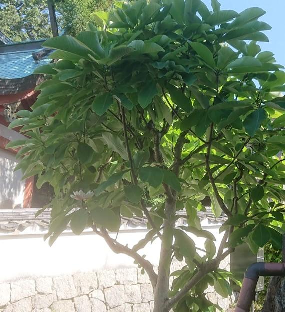 0522朴木の花1-2