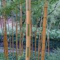 1019-3洛西竹林公園,キンメイチク