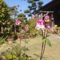 Photos: 0429オダマキ2