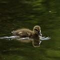 写真: 赤城の小鴨