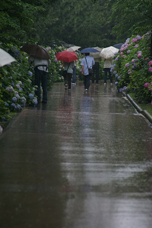 雨の紫陽花ロード0622a