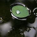 写真: 水面に浮かぶ蓮の葉、表面張力の威力!