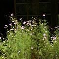 写真: コスモスの庭0906w