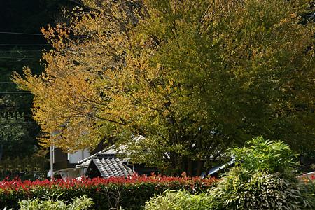北鎌倉の黄葉の木1004a