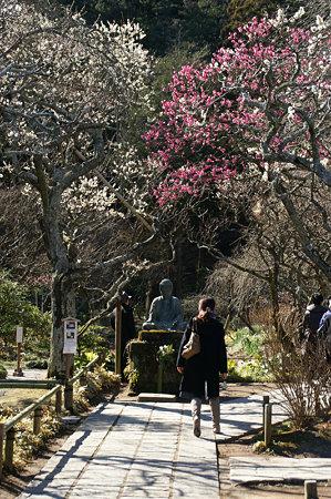 金仏の回りは梅の花盛り0201k
