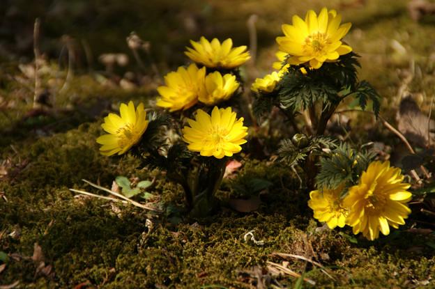 写真: 太陽に向かって咲く、福寿草(2/14)