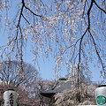 Photos: 枝垂れ桜のカーテン3!(3/30)
