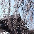 Photos: 枝垂れ桜のカーテン2!(3/30)