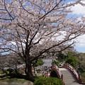桜満開の境内、称名寺14!