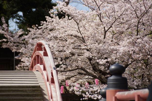 反橋と桜風景、称名寺14!