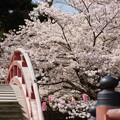 Photos: 反橋と桜風景、称名寺14!