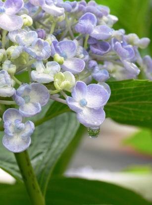 渦紫陽花の雫0610ts