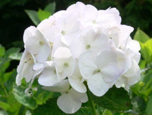 紫陽花の雫0610g