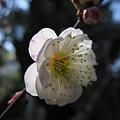 写真: 思いのまま梅の花