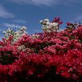 写真: 葉山のツツジ0419tg