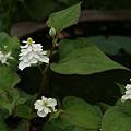 Photos: 八重咲きの白いドクダミの花20080524ta