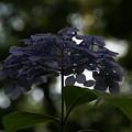 Photos: 淡い色の紫陽花0607ty