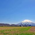 写真: 五月の羊蹄山