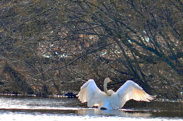 美しき白鳥の舞