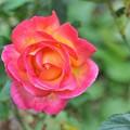写真: 秋に咲いた薔薇