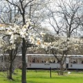 Photos: 春だ!こぶし咲く