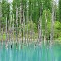 Photos: 5月の「青い池」