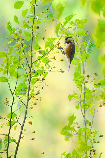 秋のヤマガラ