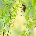 写真: 秋のヤマガラ