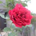 このバラ好き~