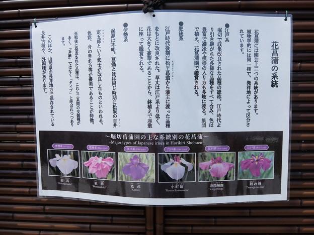 花菖蒲の系統