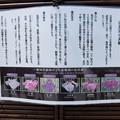 Photos: 花菖蒲の系統