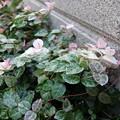 Photos: ハツユキカズラ