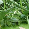 クワイの花