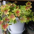 Photos: モミジ葉ゼラニウムの葉