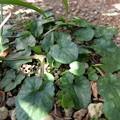 Photos: 姫リュウキンカの葉